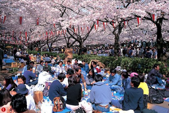 Melihat Pentingnya Tradisi Perayaan Hanami Bagi Masyarakat Jepang